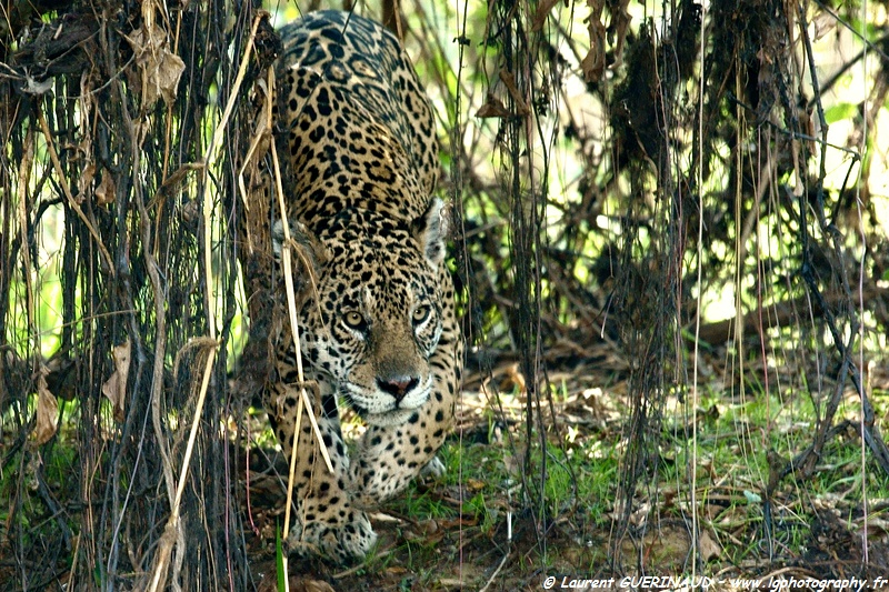 A onça do Pantanal – Le jaguar du Pantanal