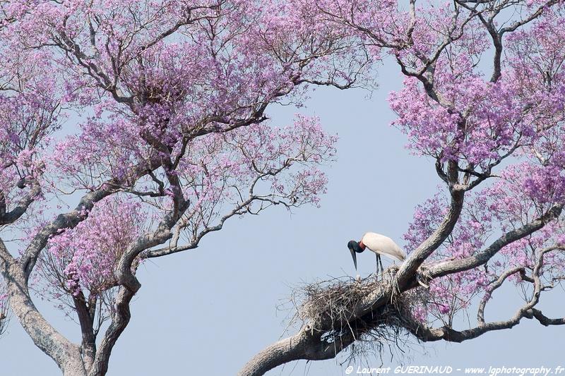 Jabiru mycteria / Jabiru Stork / Jabiru d'Amérique / Tuiuiu ou Jaburu - Pantanal
