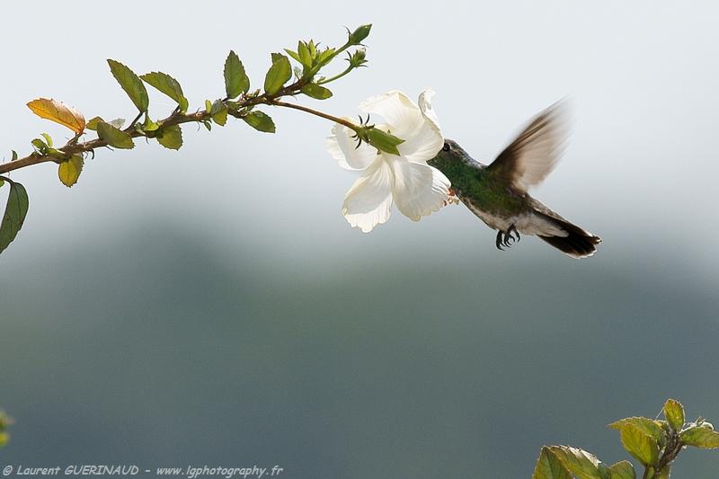 Amazilia fimbriata / Glittering throated Emerald / Ariane de Linné / Beija-flor-de-garganta-verde - Pantanal